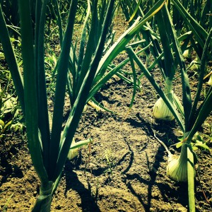 Walla Walla Onions growing to be sold at the local market!